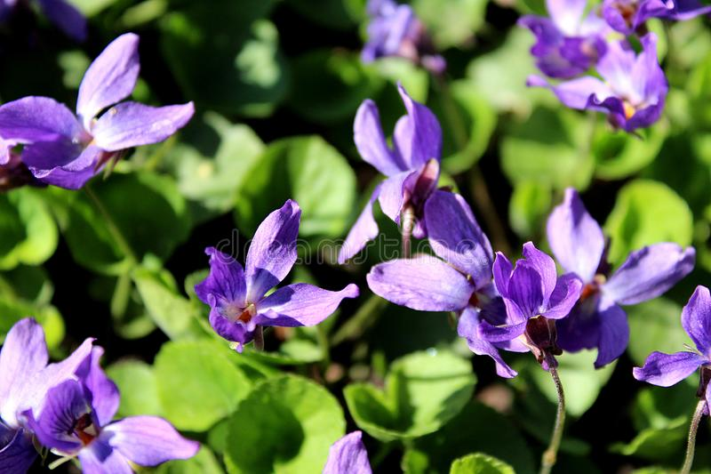 Purple small flowers on a green meadow stock image