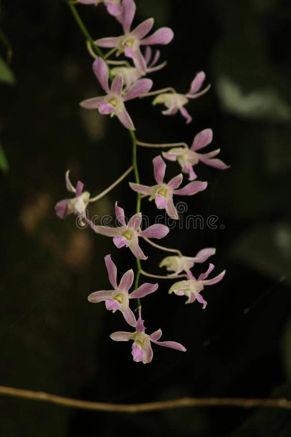 Purple small orchid in srilanka. Purple small orchid  plant in forest royalty free stock photography