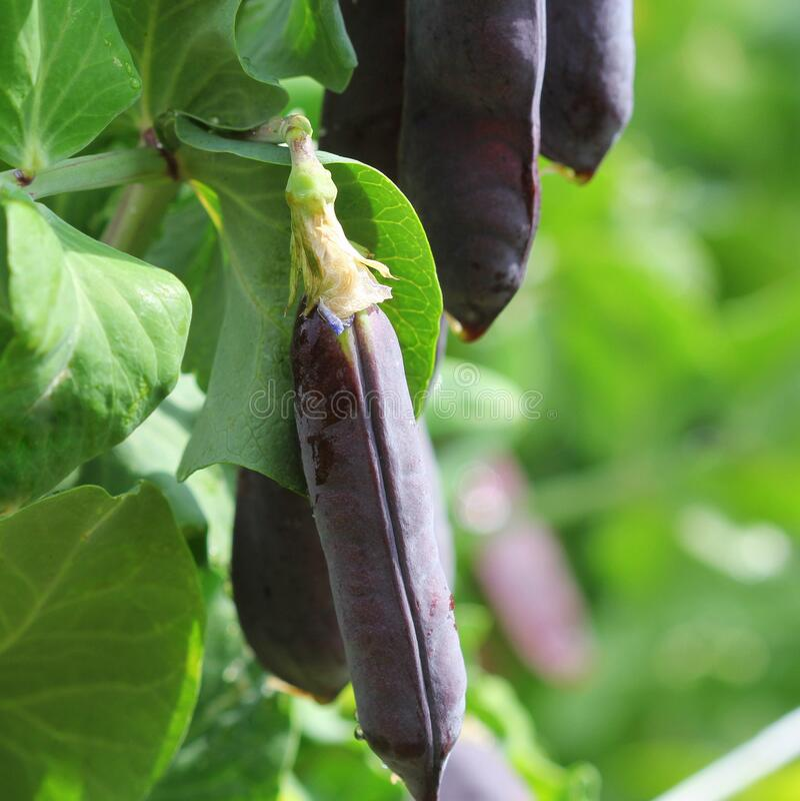 Free Purple Snow Peas.Seed Pods Of Garden Peas ,Pisum Sativum. Fresh Peas In Purple Pod Hanging On Branches In Garden Royalty Free Stock Photos - 175692748