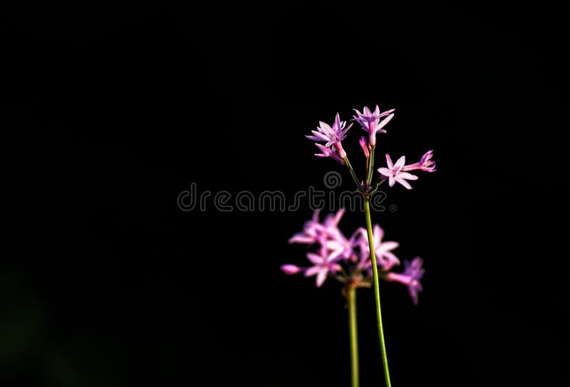 Purple society garlic Tulbaghia violacea bloom isolated with b. Lack background created by bright lighting stock photos