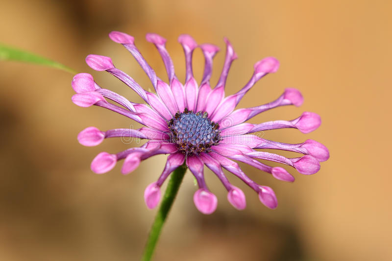 Purple Soprano Lilac Spoon Osteospermum flower African Daisy stock images