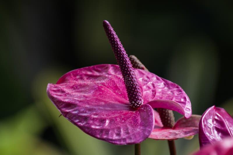 Purple spadix stock photos