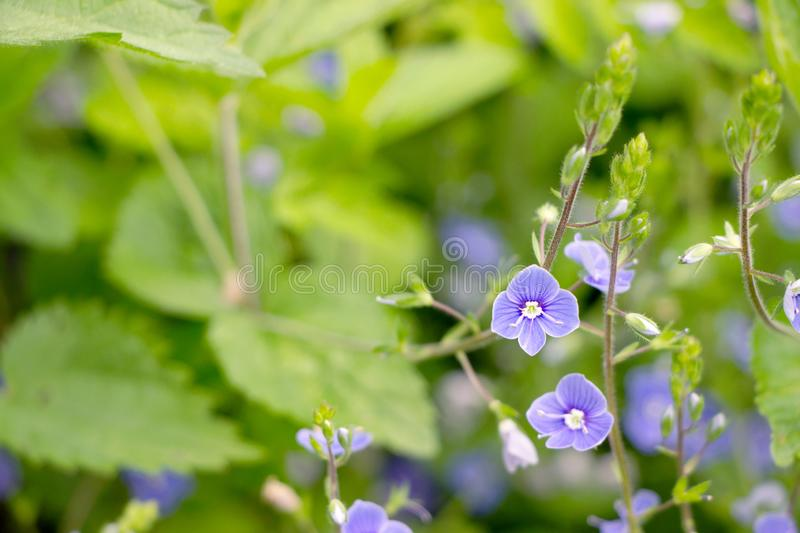 Purple speedwell flower in garden royalty free stock photography