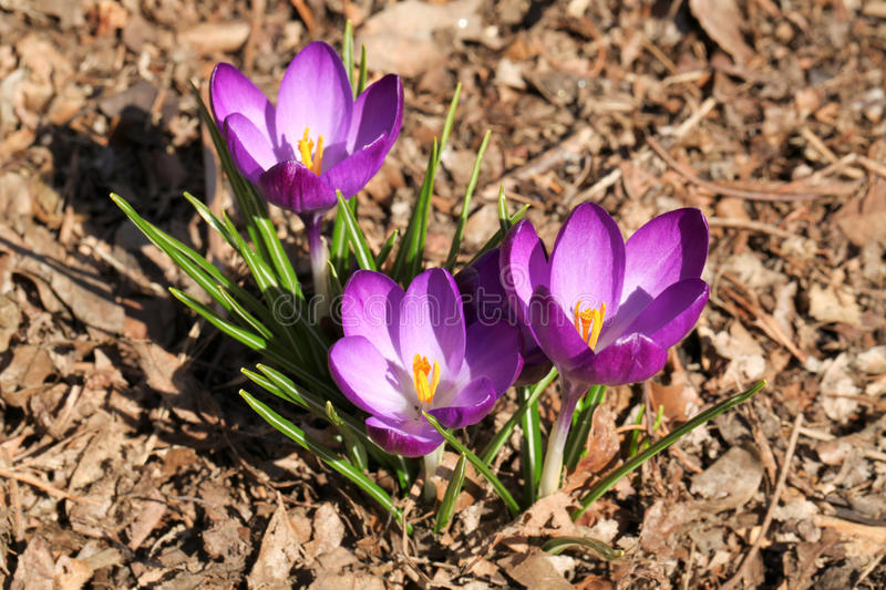 Purple Spring Crocuses Colorful Flowers royalty free stock image