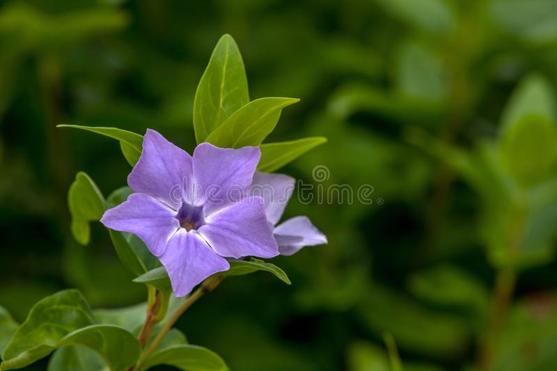 The purple spring flower from the forest stock photo