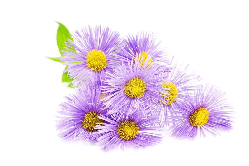 Purple spring flower over white. royalty free stock images