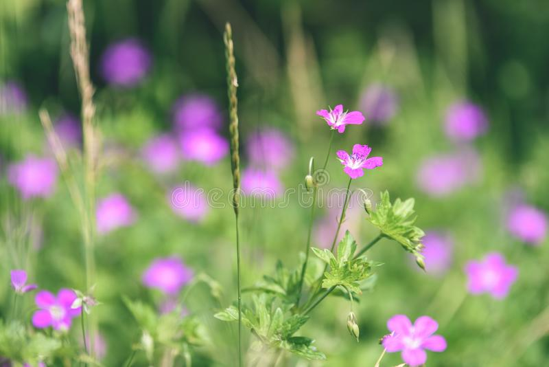 Purple spring flowers on green background - vintage pastel col. Purple spring flowers on green background with shallow depth of field - vintage pastel color royalty free stock photos