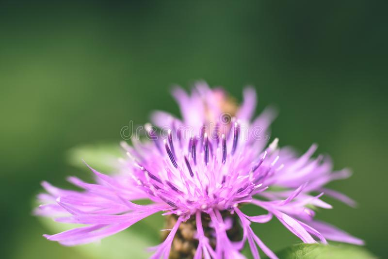 Purple spring flowers on green background - vintage pastel col. Purple spring flowers on green background with shallow depth of field - vintage pastel color stock image