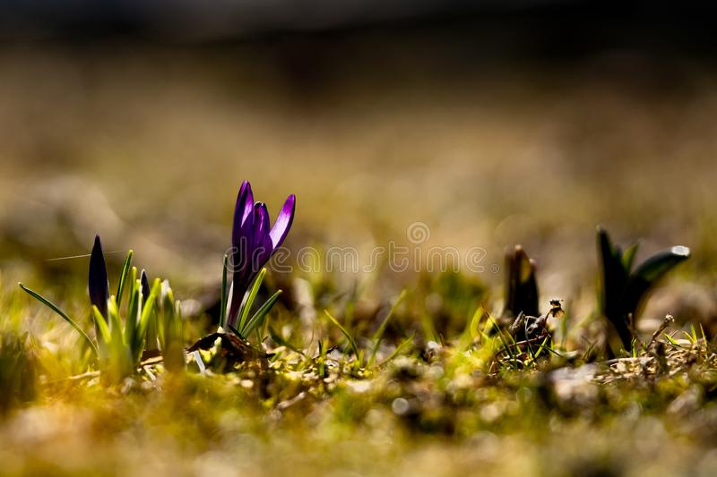 Purple spring primrose close-up on a background of green grass royalty free stock images