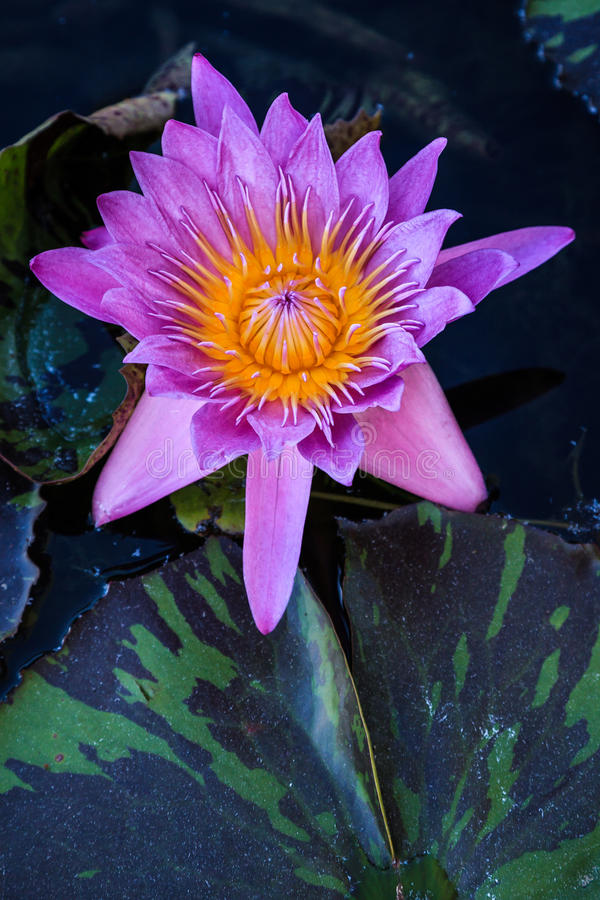 Purple Star Lily. A light purple water lily in bloom in ap pond full of lily pads stock photography
