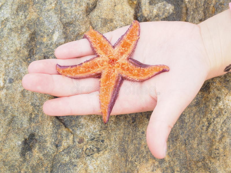 Purple starfish lying on its back, showing tentacles inside a child's hand. Purple starfish lying on its back, showing orange color tentacles inside a child's stock images