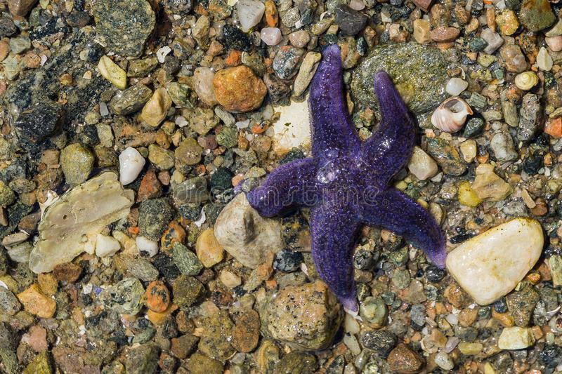 A purple starfish on the stony bottom stock image