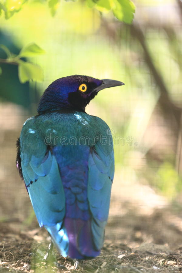 Purple starling. The purple starling sitting on the soil stock images