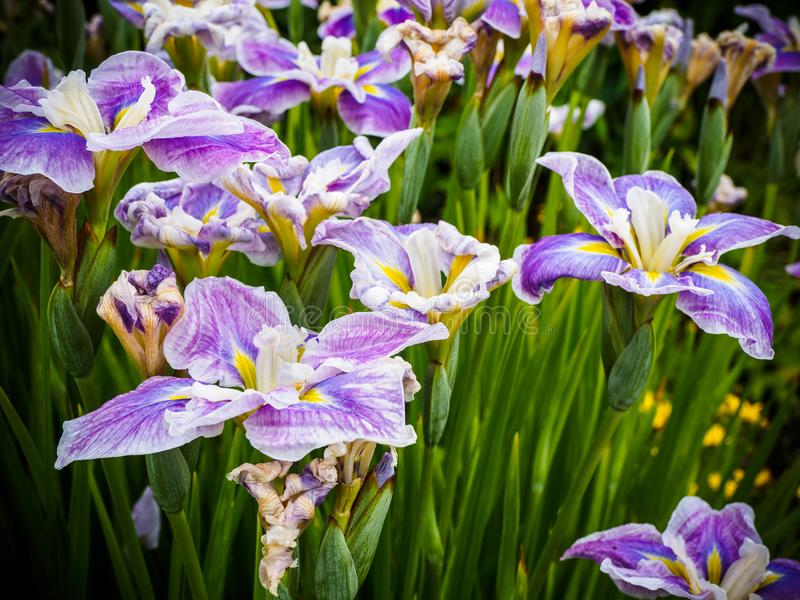 Purple striped iris royalty free stock image