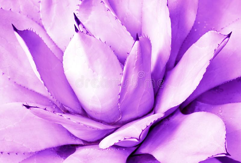 Purple succulent close-up, top view, minimalistic trendy background. Toned stock photography