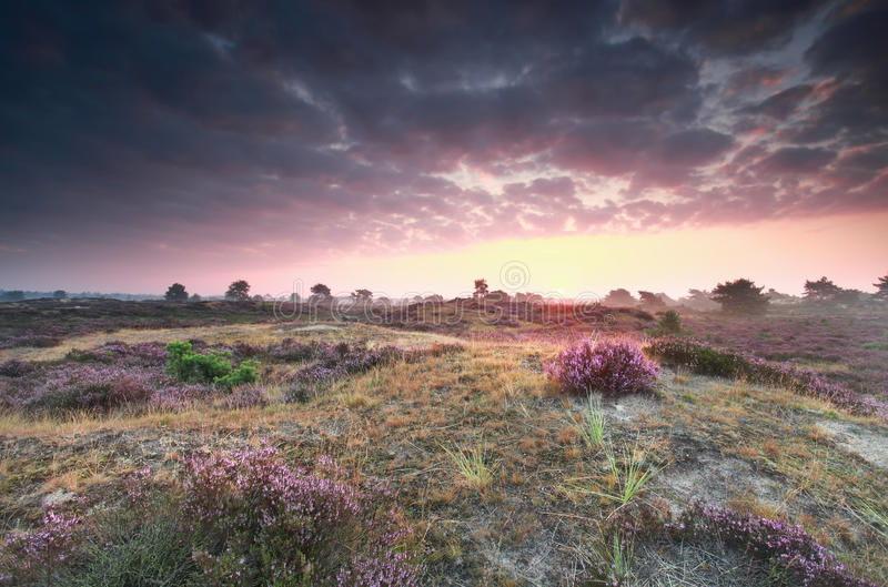 Purple summer sunrise on heathland royalty free stock images