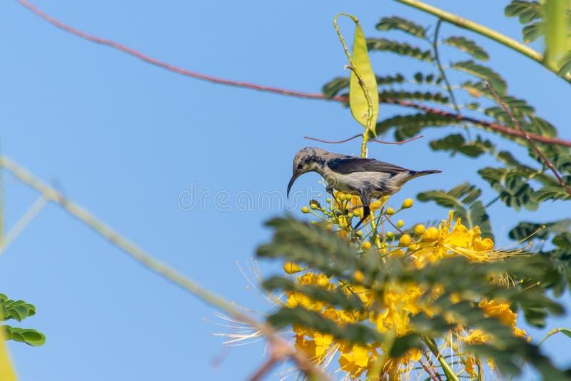 A female Purple Sunbird sucks nectar from a beautiful yellow flower in Muscat, Oman. Cinnyris asiaticus stock photography