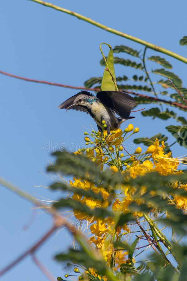 A male Purple Sunbird changing plumage sucks nectar from a beautiful yellow flower in Muscat, Oman. Cinnyris asiaticus royalty free stock image