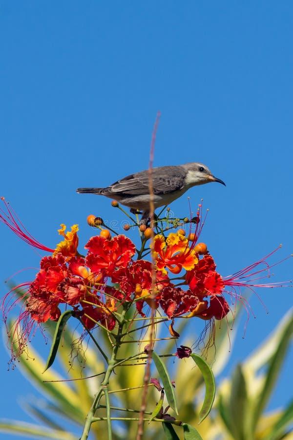 Female Purple Sunbird on top of an orange flower stock images