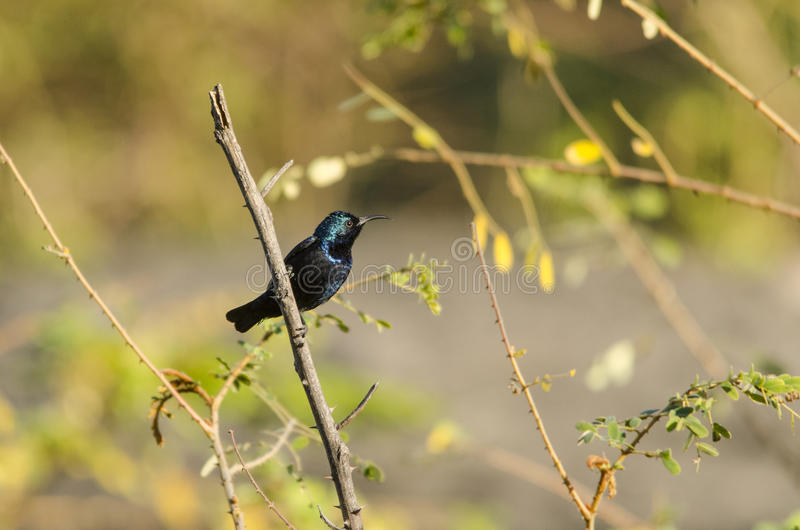 Purple sunbird stock image