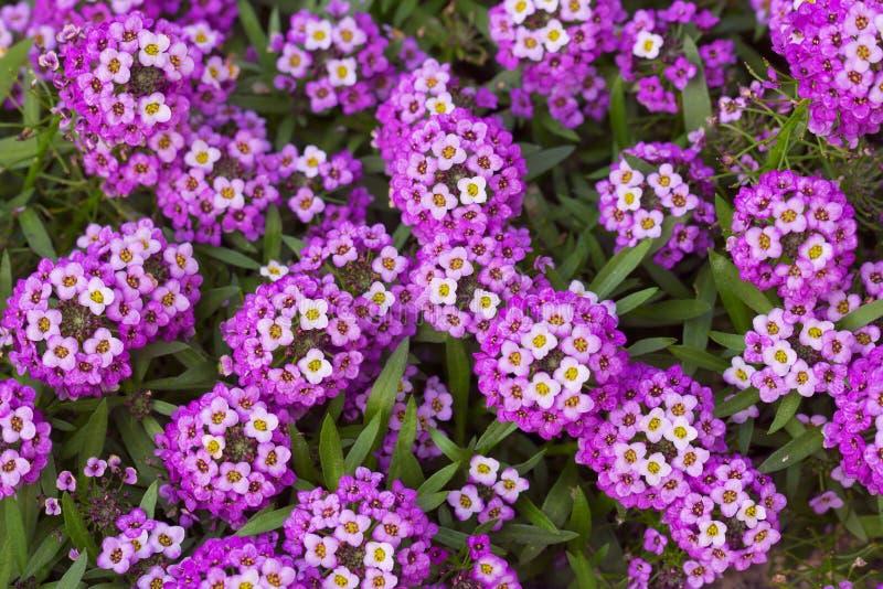 Purple sweet Alyssum flowers. Closeup of purple sweet Alyssum flowers, sweet alison, Lobularia maritima royalty free stock photo