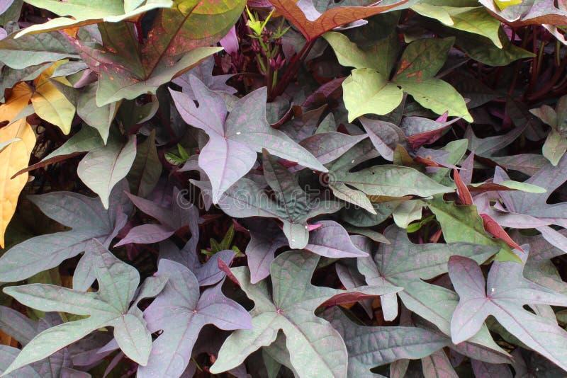 Purple sweet potato vine background texture. Horizontal view royalty free stock image