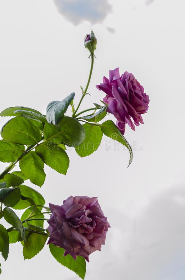 Purple Tea Rose Blooms. Against the cloudy sky are two branches having purple blooms of tea rose flowers, one at bud stage, two fully opened with multiple petal royalty free stock photography