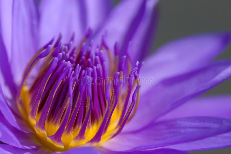Purple Thai lotus close-up stock images