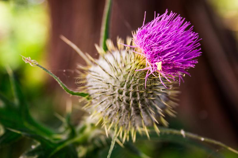 Purple thistle blooming, close up with white flake stock photo