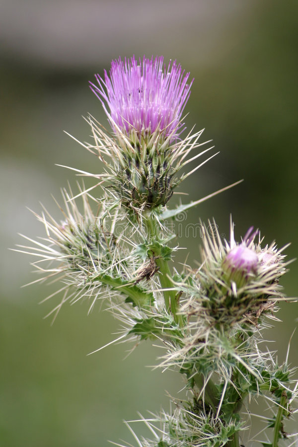 Purple Thistle Flower 2 royalty free stock photography