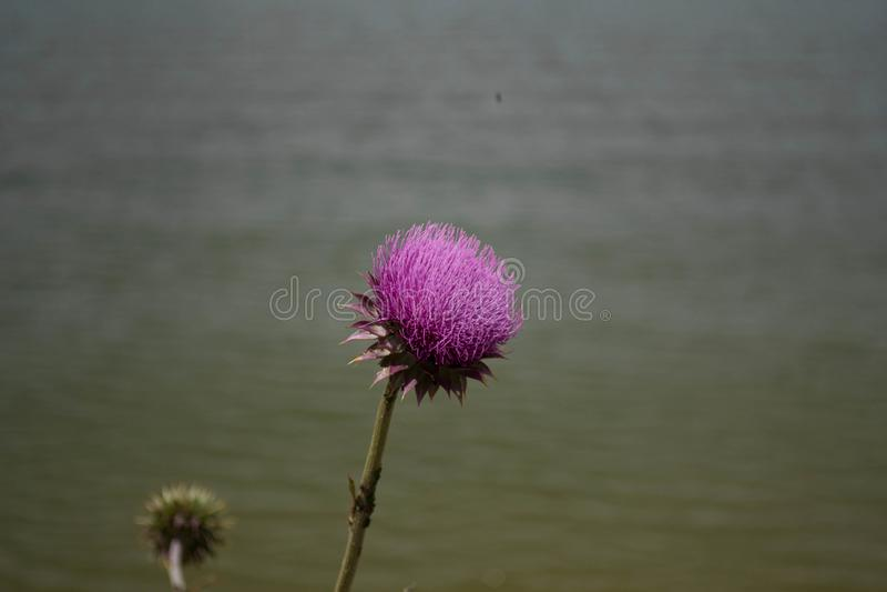 Purple Thistle Flower in full bloom stock images