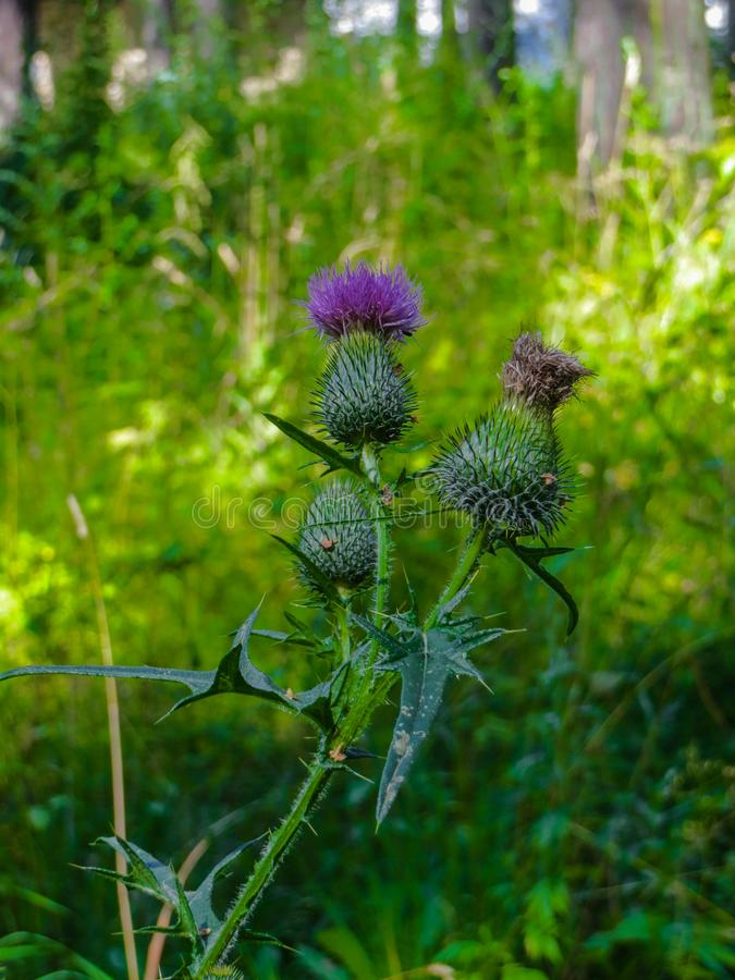 Purple thistle flower grown in the forest royalty free stock photo