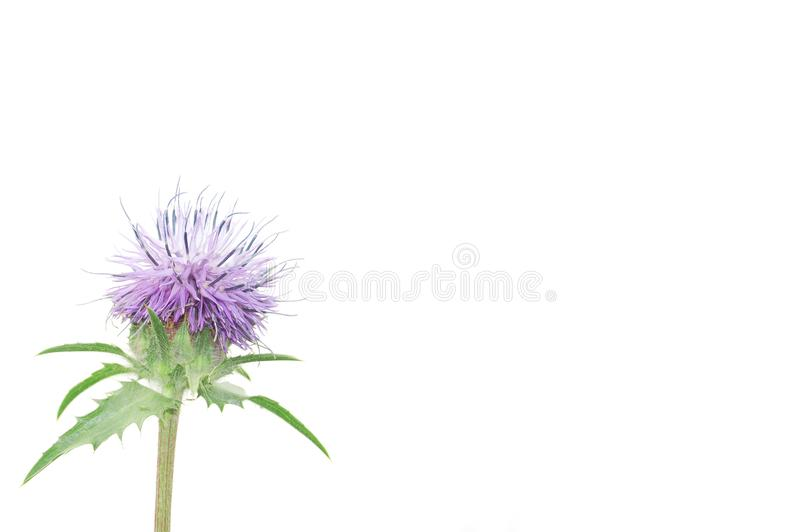 Purple thistle flower stock image