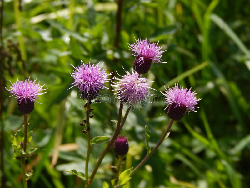 Purple thistle flowers with bugs climbing the stalk stock photo