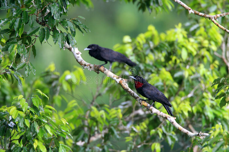 Download Purple-throated Fruitcrow stock photo. Image of male - 39509484