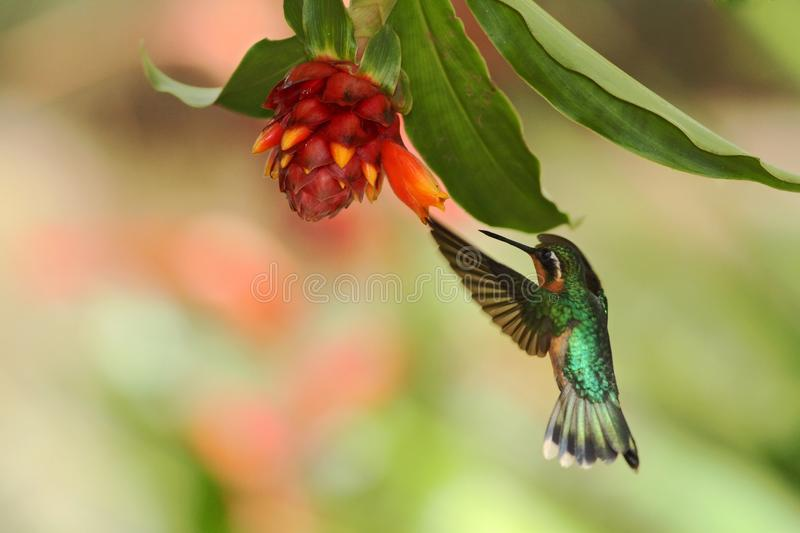 Purple-throated Mountaingem, Lampornis calolaemus, hovering next to orange flower, bird from mountain tropical forest. Waterfall Gardens La Paz, Costa Rica royalty free stock photos