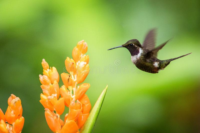 Purple-throated woodstar hovering next to big orange flower,tropical forest, Colombia, bird sucking nectar from blossom in garden. Beautiful hummingbird with royalty free stock photo
