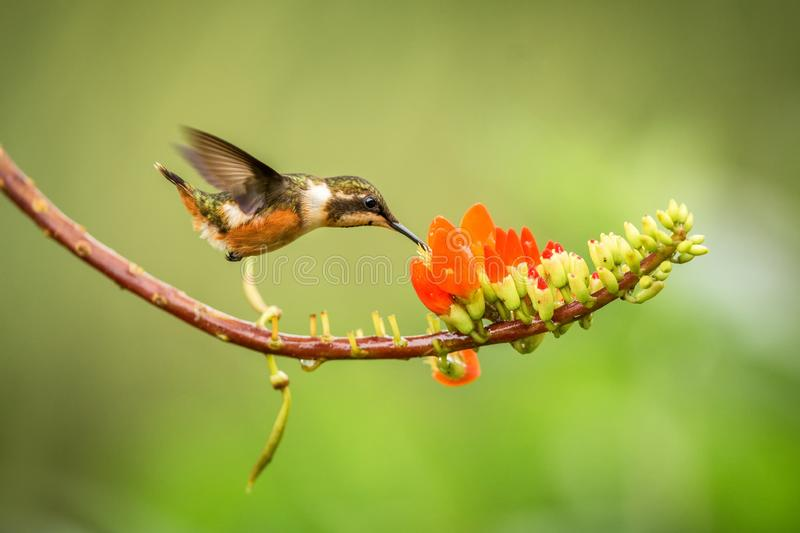 Purple-throated woodstar hovering next to orange flower,tropical forest, Colombia, bird sucking nectar from blossom in garden. Beautiful hummingbird with stock photography