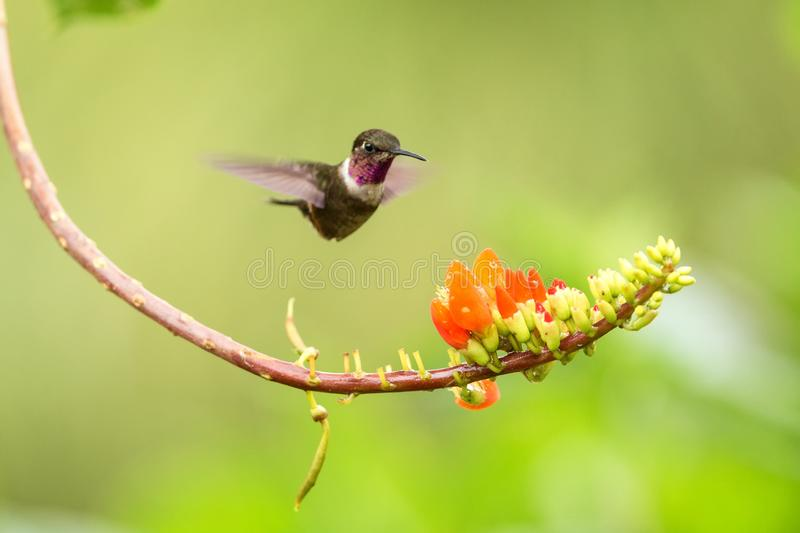 Purple-throated woodstar hovering next to orange flower,tropical forest, Colombia, bird sucking nectar from blossom in garden. Beautiful hummingbird with royalty free stock photo