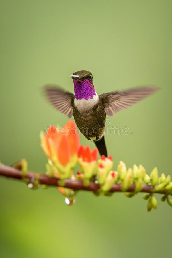 Purple-throated woodstar hovering next to orange flower,tropical forest, Colombia, bird sucking nectar from blossom in garden. Beautiful hummingbird with royalty free stock images