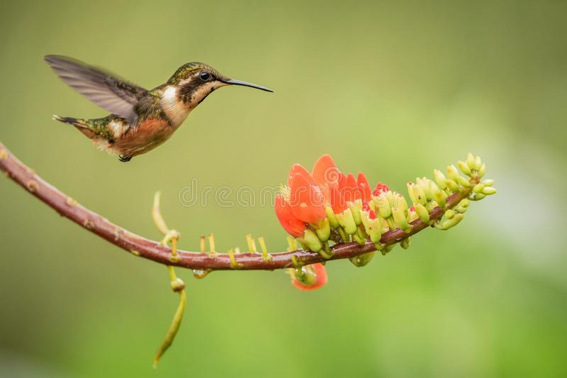 Purple-throated woodstar hovering next to orange flower,tropical forest, Colombia, bird sucking nectar from blossom in garden. Beautiful hummingbird with royalty free stock photos