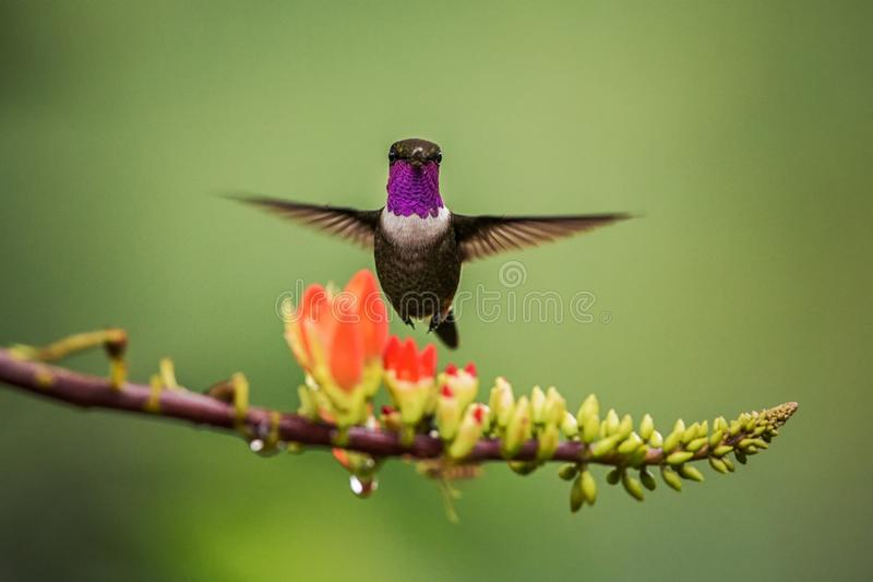Purple-throated woodstar hovering next to orange flower,tropical forest, Colombia, bird sucking nectar from blossom in garden. Beautiful hummingbird with stock images