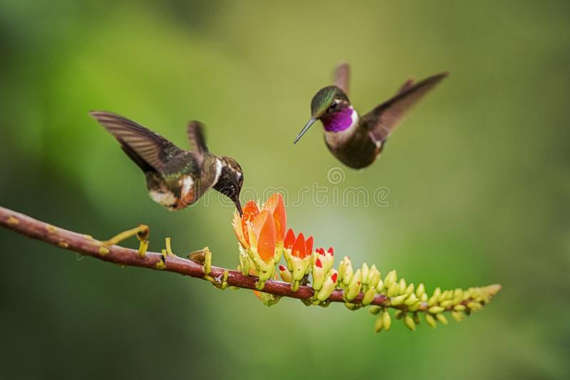 Purple-throated woodstar hovering next to orange flower,tropical forest, Colombia, bird sucking nectar from blossom in garden. Beautiful hummingbird with stock photos
