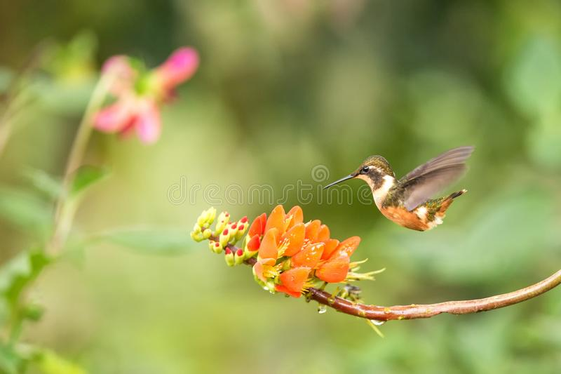 Purple-throated woodstar hovering next to orange flower,tropical forest, Colombia, bird sucking nectar from blossom in garden. Beautiful hummingbird with royalty free stock photography