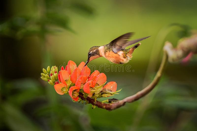 Purple-throated woodstar hovering next to orange flower,tropical forest, Colombia, bird sucking nectar from blossom in garden. Beautiful hummingbird with stock photo