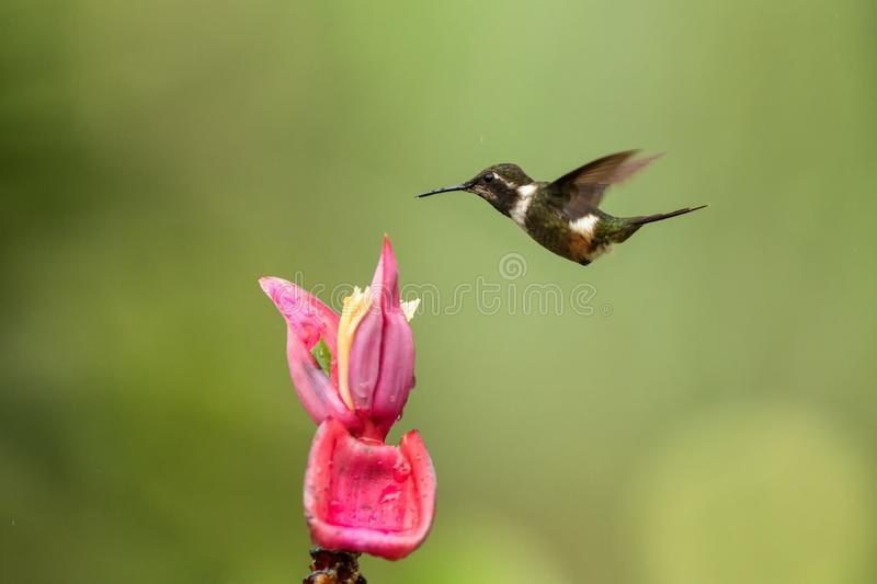 Purple-throated woodstar hovering next to pink flower,tropical forest, Colombia, bird sucking nectar from blossom in garden. Beautiful hummingbird with stock photography