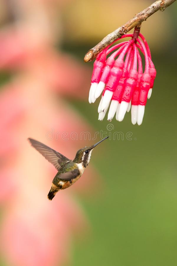 Purple-throated woodstar hovering next to white and red flower, garden, tropical forest, Colombia, bird on colorful clear backgrou. Nd,beautiful hummingbird with royalty free stock image