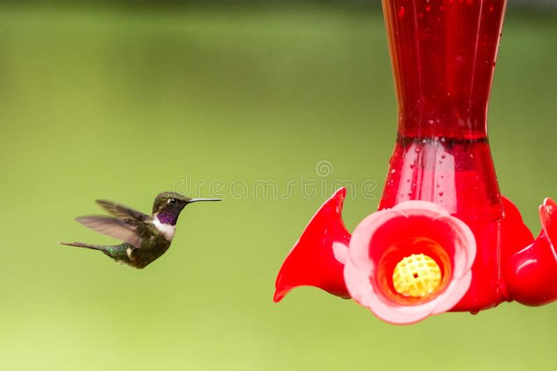Purple-throated woodstar,hummingbird with outstretched wings,tropical forest,Colombia,bird hovering next to red feeder. With sugar water, garden,clear royalty free stock photo