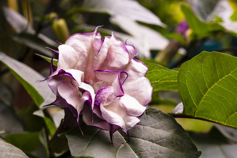 Purple Trumpet Flower royalty free stock photography