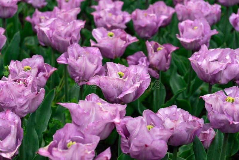 Purple tulip flowers in spring garden, park.  stock photo
